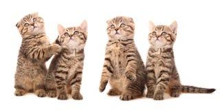 Gatitos escoceses Fotos de archivo