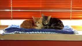 Gatitos gemelos Imagen de archivo libre de regalías