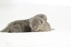 Gatitos grises viejos de dos semanas Imagen de archivo