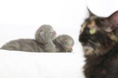 Gatitos grises viejos de dos semanas Foto de archivo