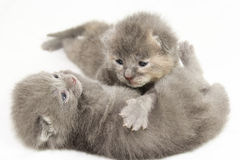 Gatitos grises viejos de dos semanas Fotos de archivo