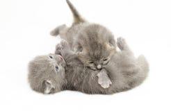 Gatitos grises viejos de dos semanas Imágenes de archivo libres de regalías