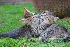 Gatitos juguetones Imagen de archivo libre de regalías