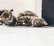 Gatitos juguetones que ruedan en el piso en la casa Foto de archivo