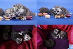 Gatitos lindos con los macarons, multicam, pantallas de la rejilla 2x2 Fotografía de archivo libre de regalías