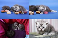 Gatitos lindos con los macarons, multicam, pantallas de la rejilla 2x2 Imágenes de archivo libres de regalías