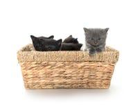 Gatitos lindos en una cesta fotos de archivo