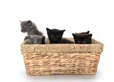 Gatitos lindos en una cesta imagen de archivo