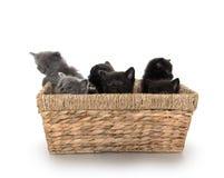 Gatitos lindos en una cesta imagen de archivo libre de regalías