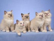 Gatitos lindos en una fila en azul Fotografía de archivo libre de regalías