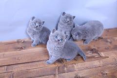Gatitos lindos que miran para arriba, británicos Shorthair Fotografía de archivo libre de regalías