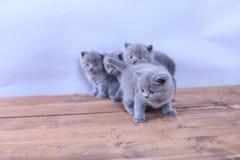 Gatitos lindos que miran para arriba, británicos Shorthair Fotos de archivo