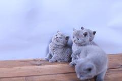 Gatitos lindos que miran para arriba, británicos Shorthair Imagen de archivo