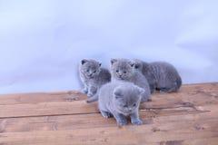Gatitos lindos que miran para arriba, británicos Shorthair Foto de archivo libre de regalías