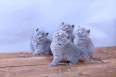 Gatitos lindos que miran para arriba, británicos Shorthair Imágenes de archivo libres de regalías