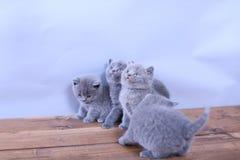 Gatitos lindos que miran para arriba, británicos Shorthair Imagen de archivo libre de regalías