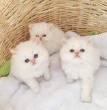 Gatitos persas Fotografía de archivo