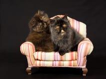 Gatitos persas bastante lindos en mini silla Fotos de archivo