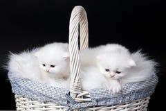 Gatitos persas blancos Foto de archivo libre de regalías