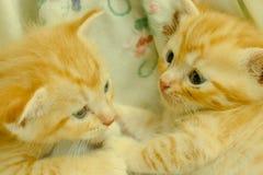 Gatitos persas Brown Imagen de archivo libre de regalías