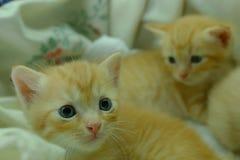 Gatitos persas Brown Foto de archivo