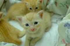 Gatitos persas Brown Fotos de archivo libres de regalías