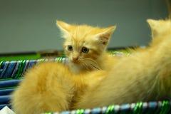 Gatitos persas Brown que son lindos Foto de archivo libre de regalías