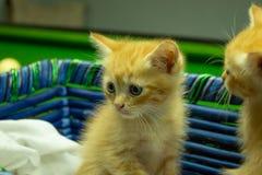 Gatitos persas Brown que son lindos Fotografía de archivo