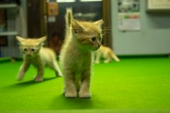 Gatitos persas Brown que son lindos Foto de archivo