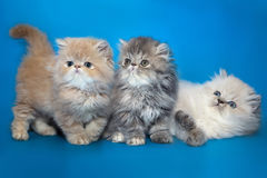 Gatitos persas en un fondo del estudio Fotos de archivo libres de regalías