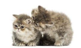 Gatitos persas que abrazan, 10 semanas de viejo, aislado Imagen de archivo