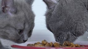 Gatitos que comen el alimento para animales de la pequeña bandeja almacen de video