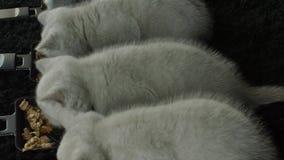 Gatitos que comen el alimento para animales de las pequeñas bandejas almacen de video