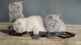 Gatitos que comen el alimento para animales de las pequeñas bandejas metrajes