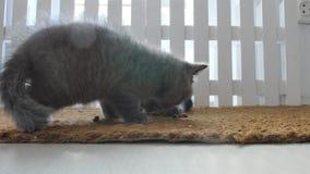 Gatitos que comen el alimento para animales de una estera de puerta almacen de metraje de vídeo