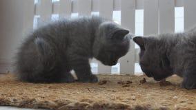 Gatitos que comen el alimento para animales de una estera de puerta almacen de video