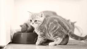 Gatitos que comen el alimento para animales del cuenco metrajes