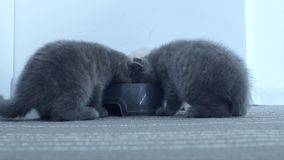 Gatitos que comen el alimento para animales del cuenco almacen de video