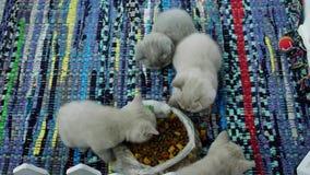 Gatitos que comen el alimento para animales del piso almacen de metraje de vídeo