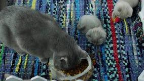Gatitos que comen el alimento para animales del piso metrajes