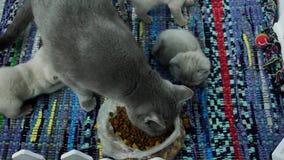 Gatitos que comen el alimento para animales del piso almacen de video
