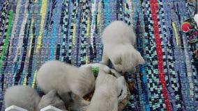 Gatitos que comen la alfombra tradicional del ona del alimento para animales almacen de video