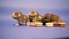 Gatitos que juegan con las tortas almacen de metraje de vídeo