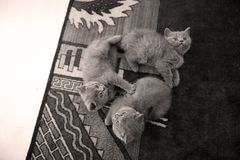 Gatitos que mienten en la alfombra y que miran para arriba Imagenes de archivo