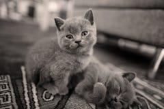 Gatitos que mienten en la alfombra y que miran para arriba Imagen de archivo libre de regalías