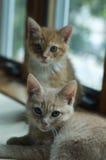 Gatitos que miran la cámara Foto de archivo libre de regalías