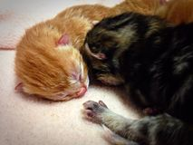 Gatitos recién nacidos Fotografía de archivo libre de regalías