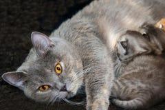 Gatitos recién nacidos de la alimentación del gato de la madre Fotos de archivo