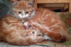 Gatitos rojos Foto de archivo libre de regalías