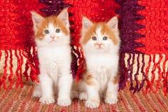 Gatitos rojos del coon de Maine Imagen de archivo libre de regalías